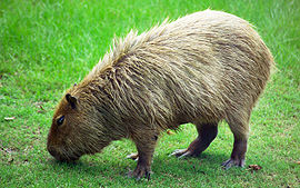 270px-Capybara_Hattiesburg_Zoo_%2870909b-42%29_2560x1600