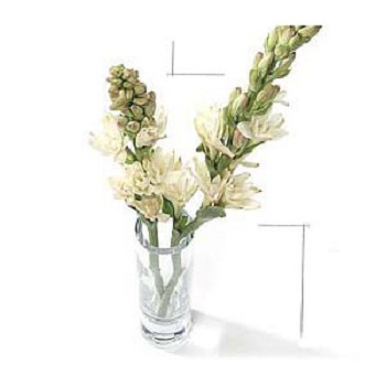 The best of portland fresh cut tuberose flowers from south america if youve ever encountered these intensely perfumed flowers you dont forget the experience its the blossoms scent that turns heads but its the purity mightylinksfo
