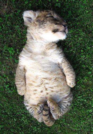 Lion_cub_1
