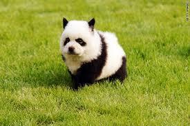Chow the panda