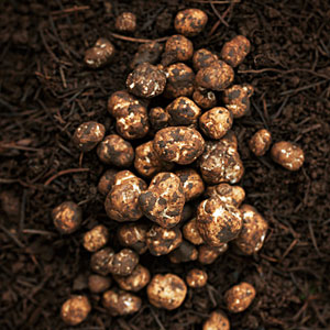 UntitledOregon truffle