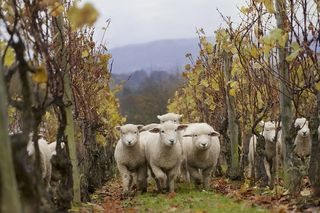 Sheep vineyard